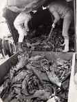 Tote Fische ca. 8,5 t im Werdersee
